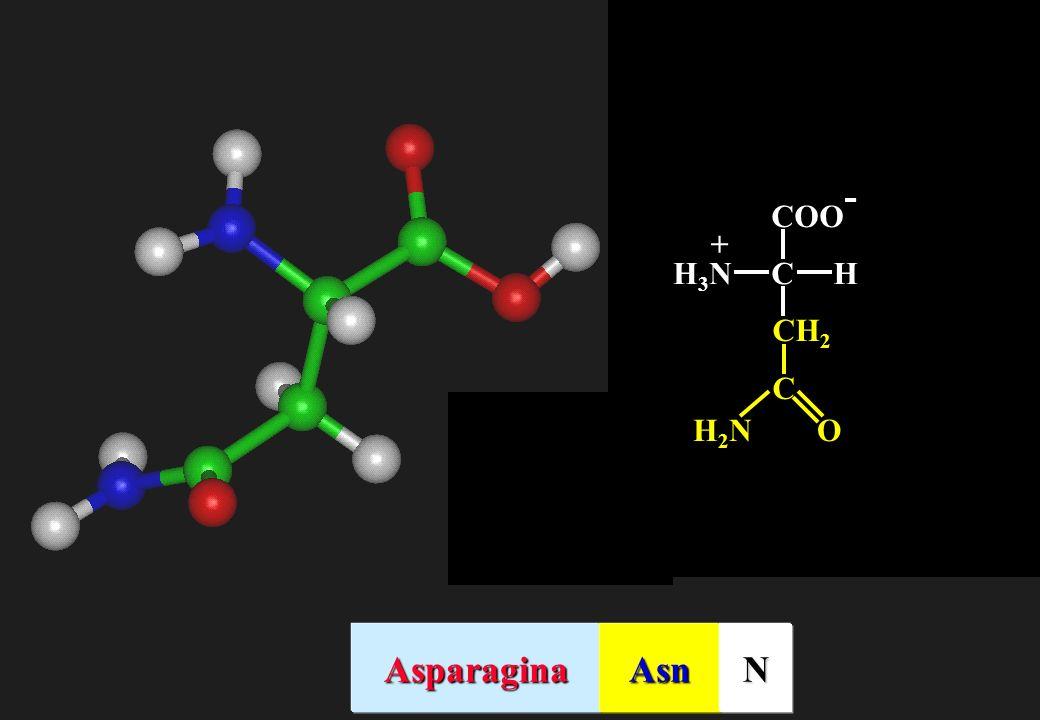COO- C H H3N + CH2 O H2N Asparagina Asn N
