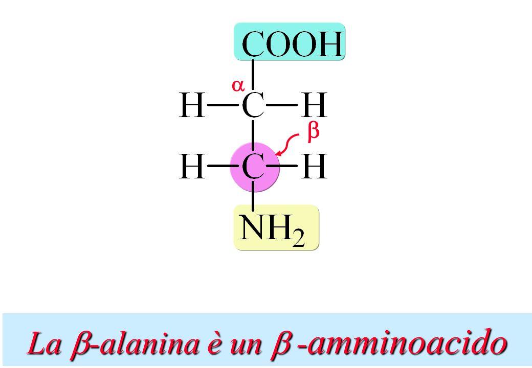 La b-alanina è un b -amminoacido