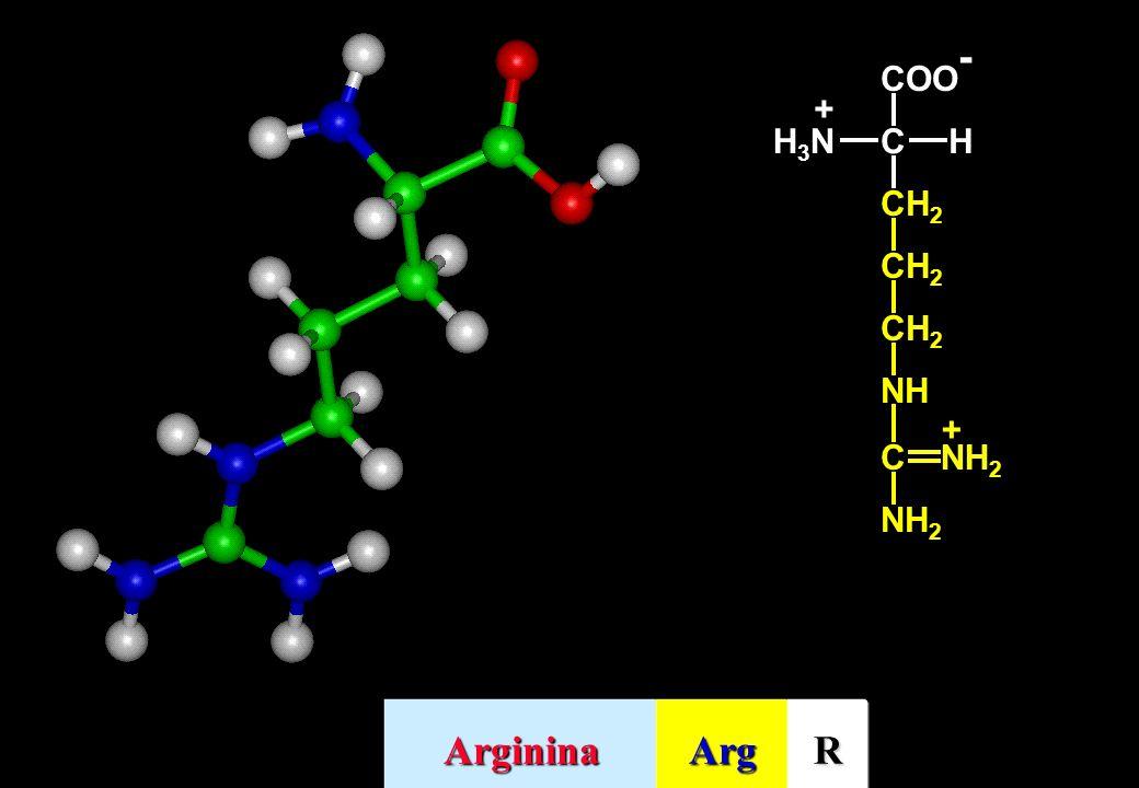 CH2 NH C NH2 + COO- H H3N Arginina Arg R