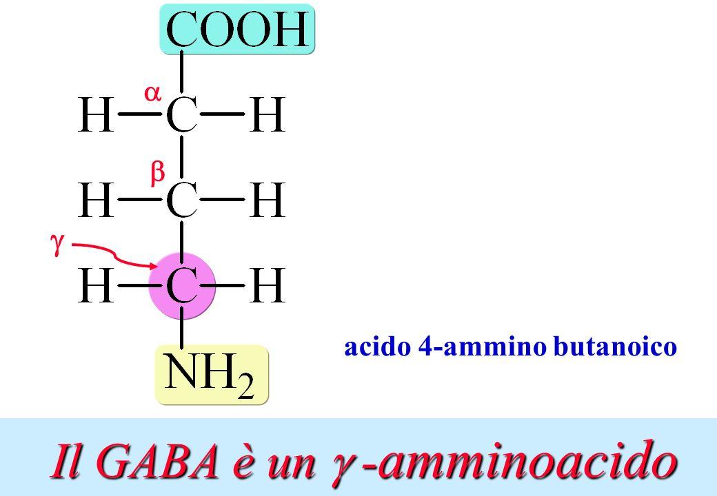 Il GABA è un g -amminoacido