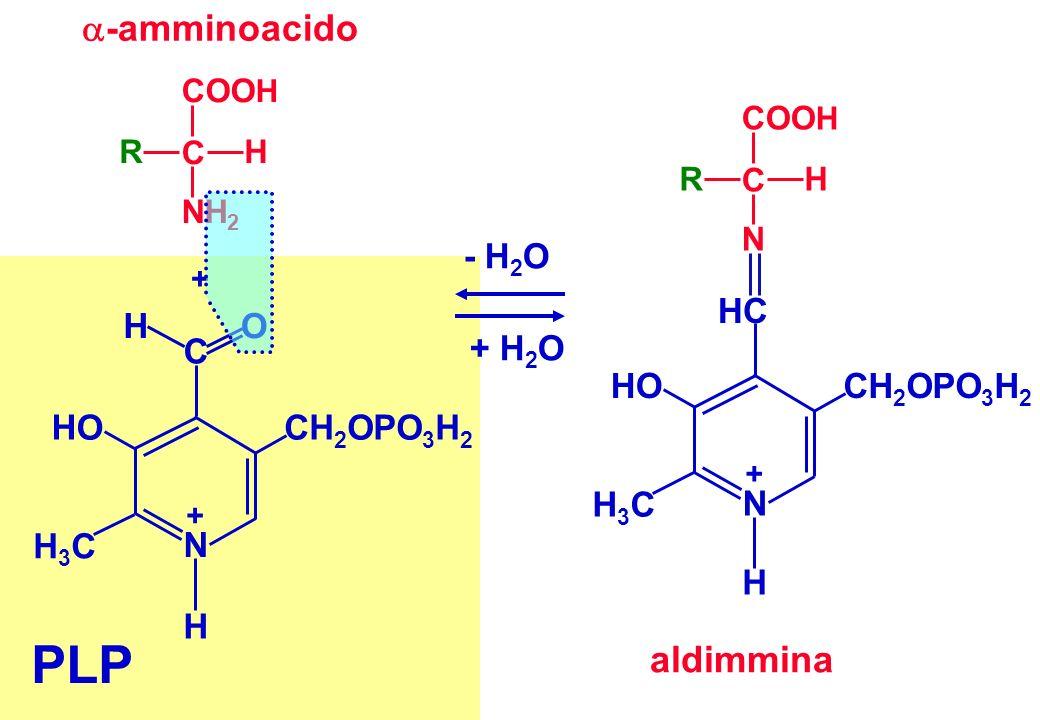 PLP -amminoacido aldimmina HC CH2OPO3H2 HO H3C - H2O + H2O C O H N