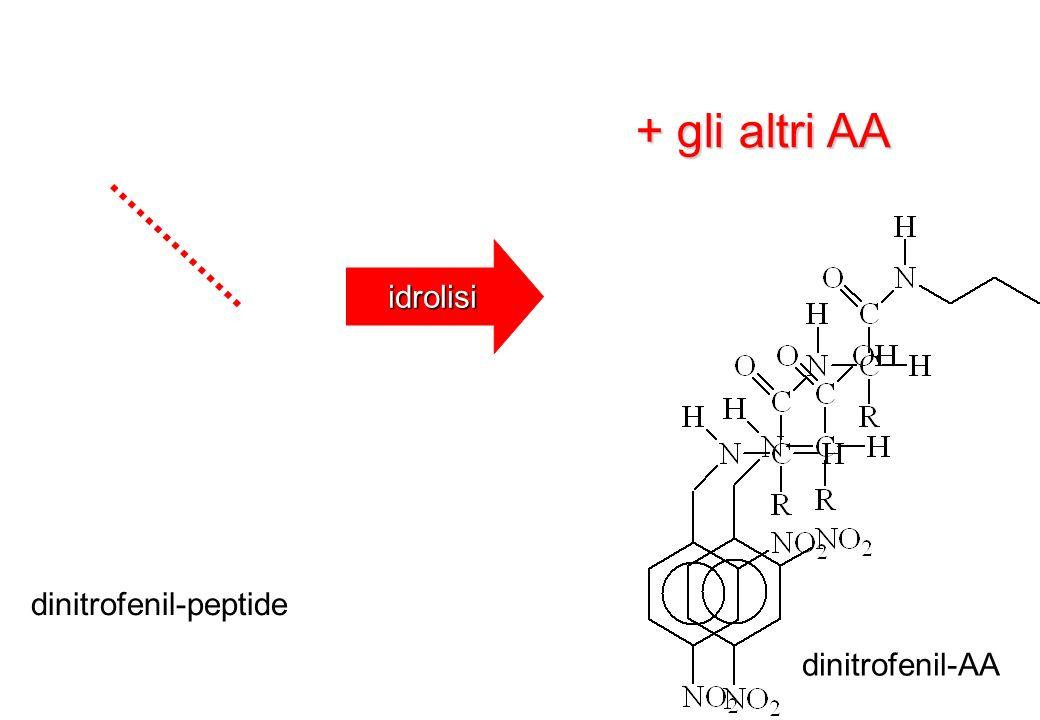 + gli altri AA idrolisi dinitrofenil-peptide dinitrofenil-AA