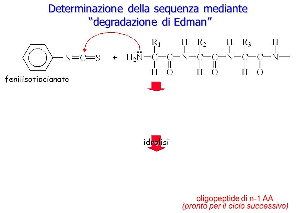 Determinazione della sequenza mediante degradazione di Edman