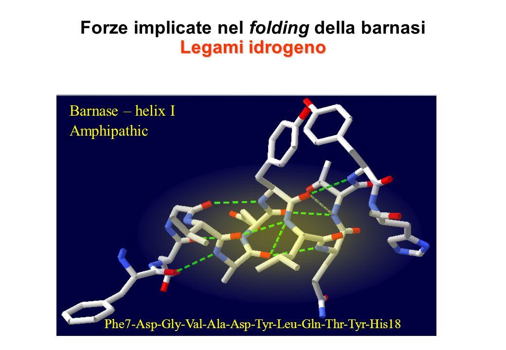 Forze implicate nel folding della barnasi Legami idrogeno