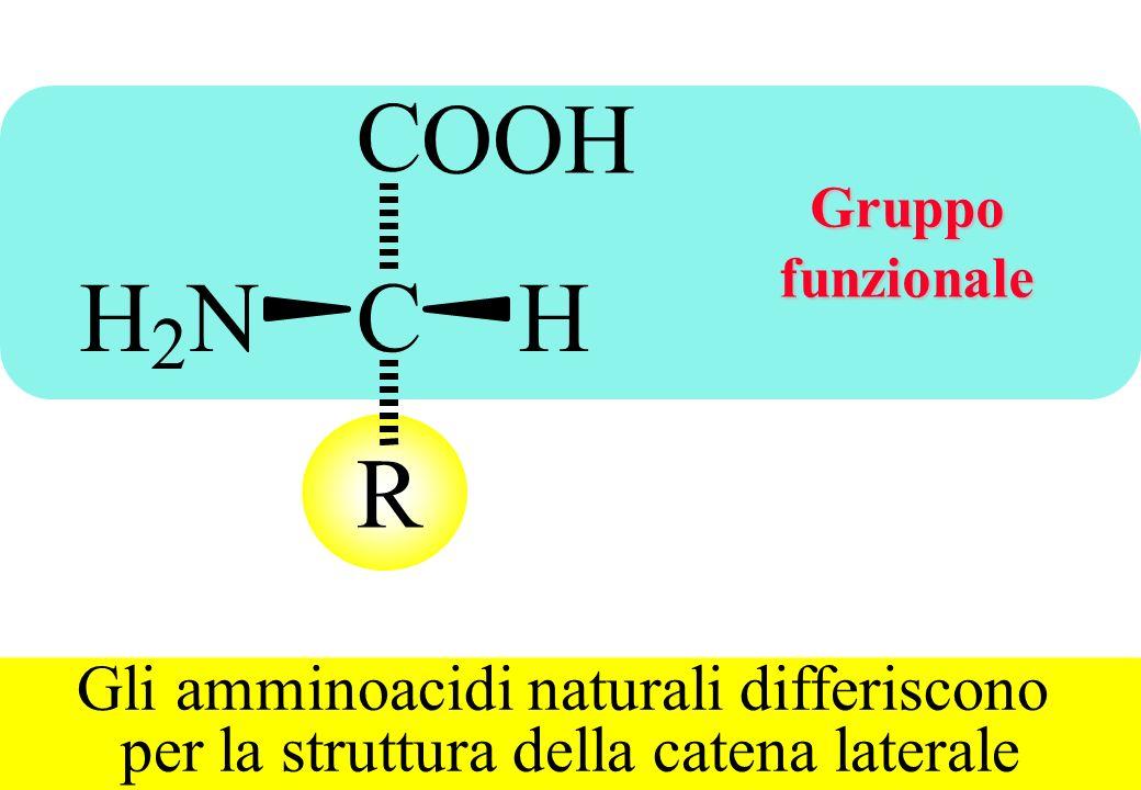 C O O H H N C H R 2 Gli amminoacidi naturali differiscono