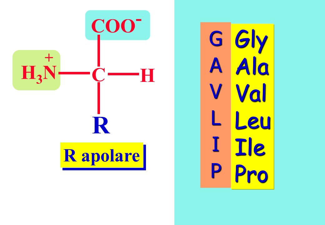 COO- G A V L I P Gly Ala Val Leu Ile Pro + H3N C H R R apolare