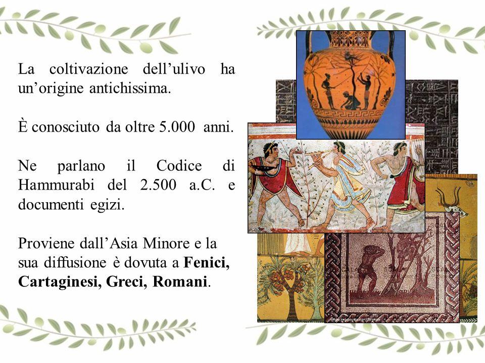 La coltivazione dell'ulivo ha un'origine antichissima.