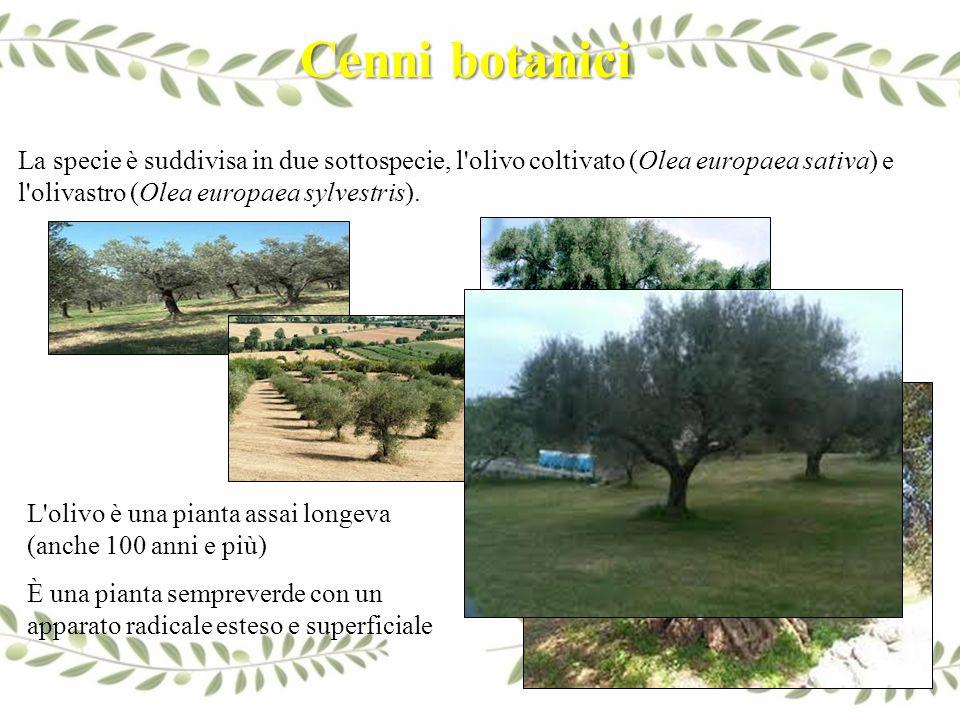 Cenni botanici La specie è suddivisa in due sottospecie, l olivo coltivato (Olea europaea sativa) e l olivastro (Olea europaea sylvestris).