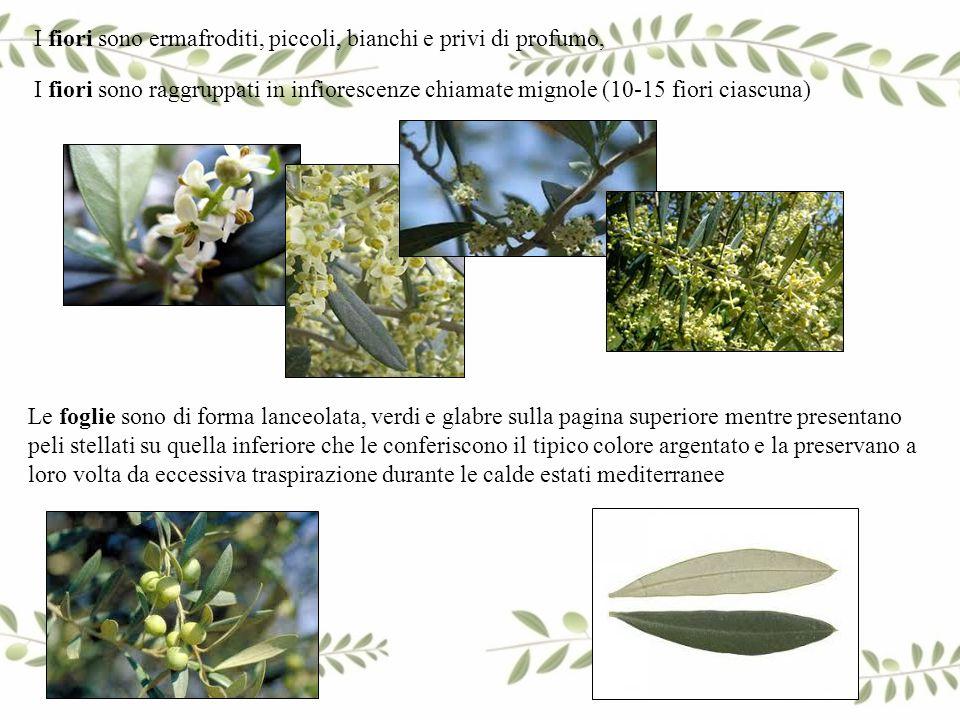 I fiori sono ermafroditi, piccoli, bianchi e privi di profumo,