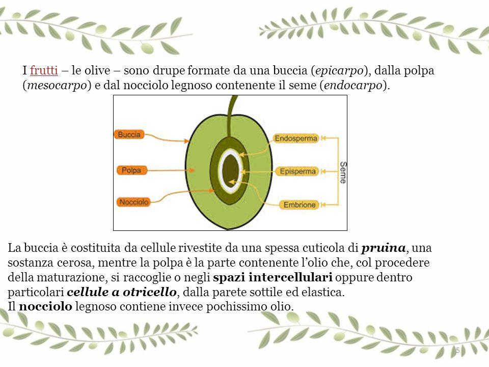 I frutti – le olive – sono drupe formate da una buccia (epicarpo), dalla polpa (mesocarpo) e dal nocciolo legnoso contenente il seme (endocarpo).