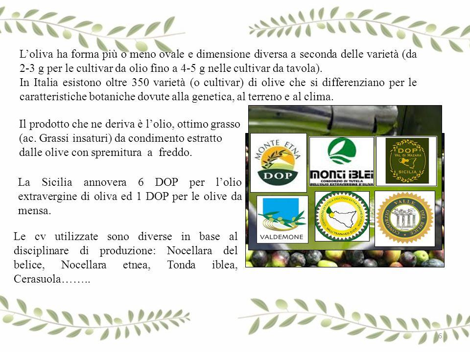 L'oliva ha forma più o meno ovale e dimensione diversa a seconda delle varietà (da 2-3 g per le cultivar da olio fino a 4-5 g nelle cultivar da tavola).