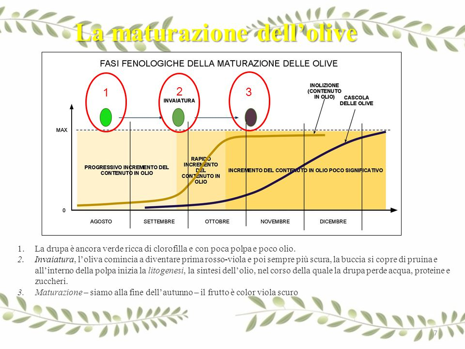 La maturazione dell'olive