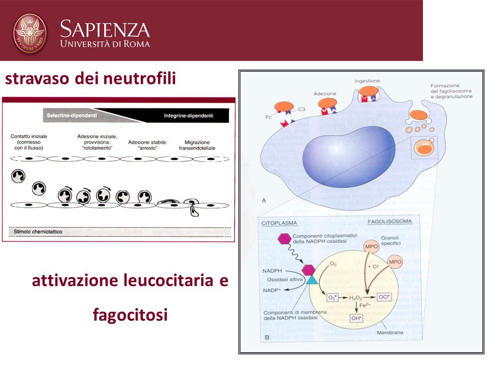 attivazione leucocitaria e fagocitosi