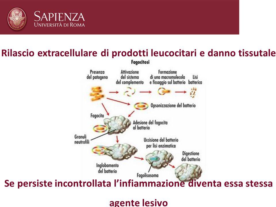 Rilascio extracellulare di prodotti leucocitari e danno tissutale