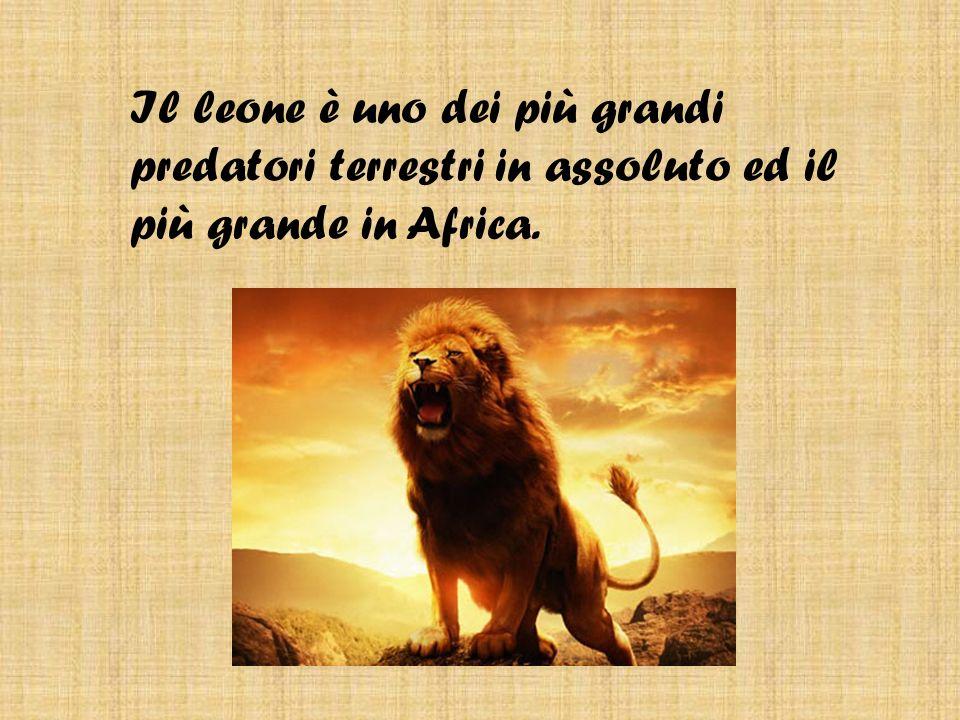 Il leone è uno dei più grandi predatori terrestri in assoluto ed il più grande in Africa.