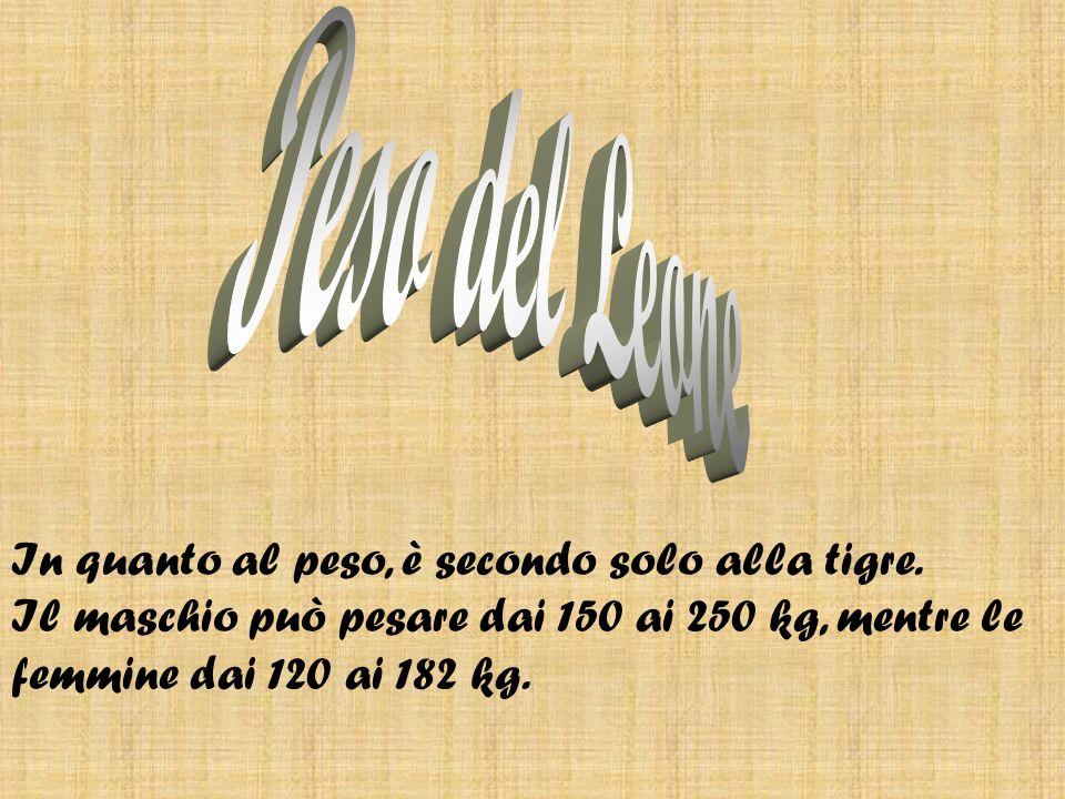 Peso del Leone In quanto al peso, è secondo solo alla tigre.