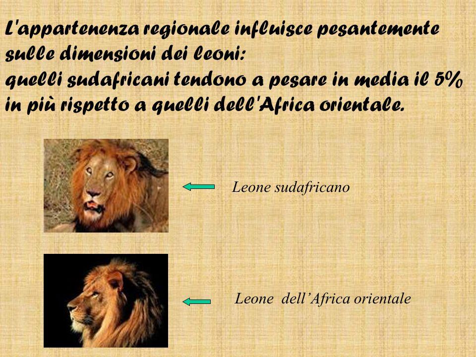 L appartenenza regionale influisce pesantemente sulle dimensioni dei leoni: