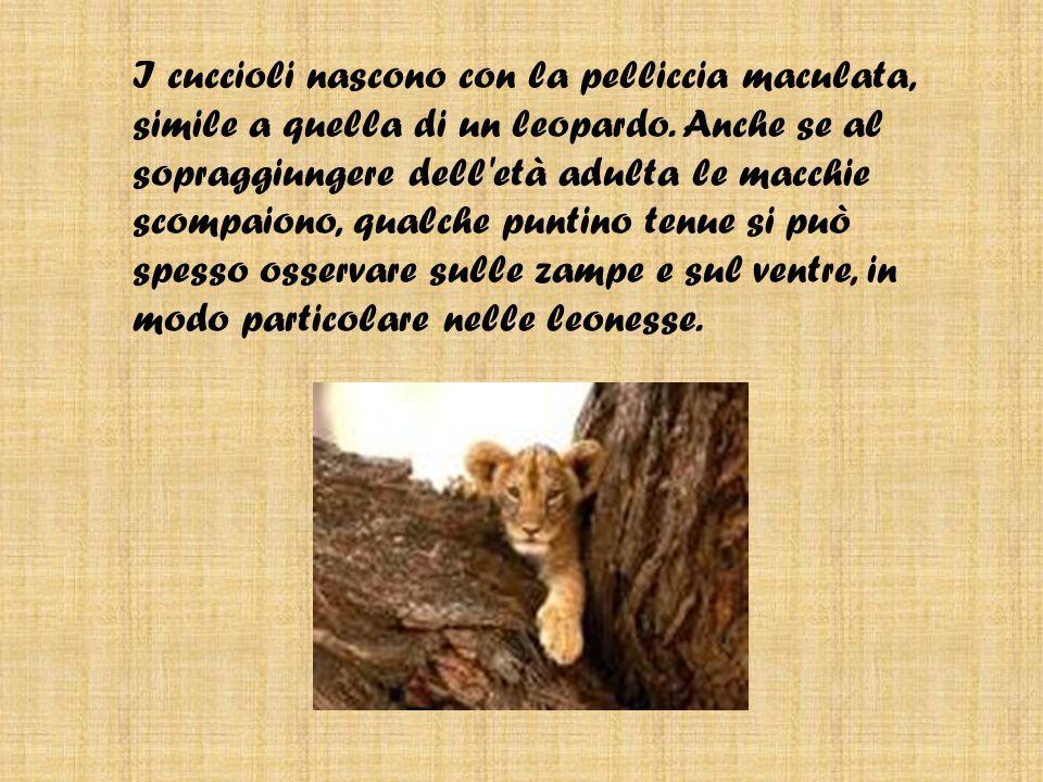 I cuccioli nascono con la pelliccia maculata, simile a quella di un leopardo.