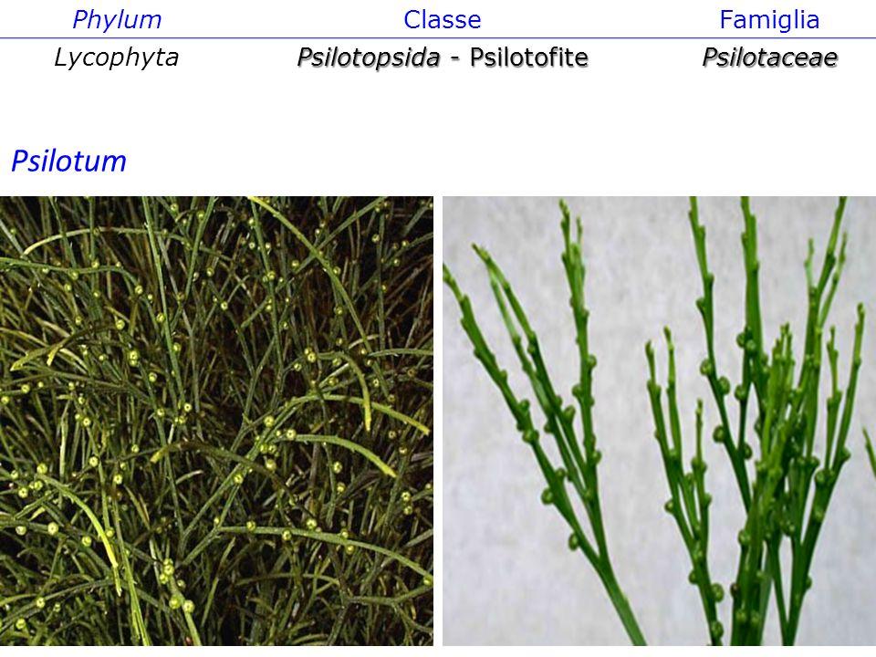 Psilotopsida - Psilotofite