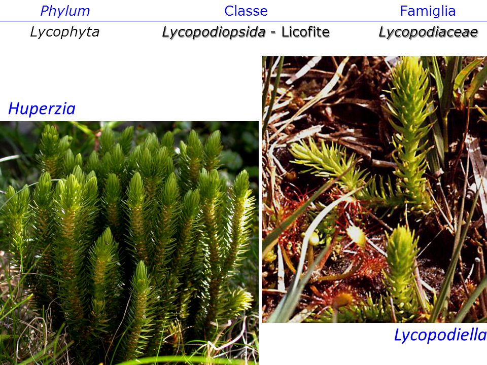 Lycopodiopsida - Licofite