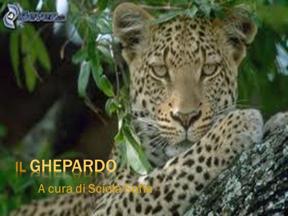 A cura di Sciola Sofia Il ghepardo