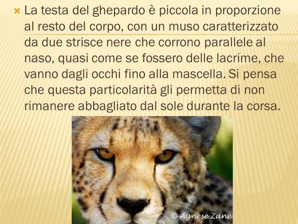 La testa del ghepardo è piccola in proporzione al resto del corpo, con un muso caratterizzato da due strisce nere che corrono parallele al naso, quasi come se fossero delle lacrime, che vanno dagli occhi fino alla mascella.