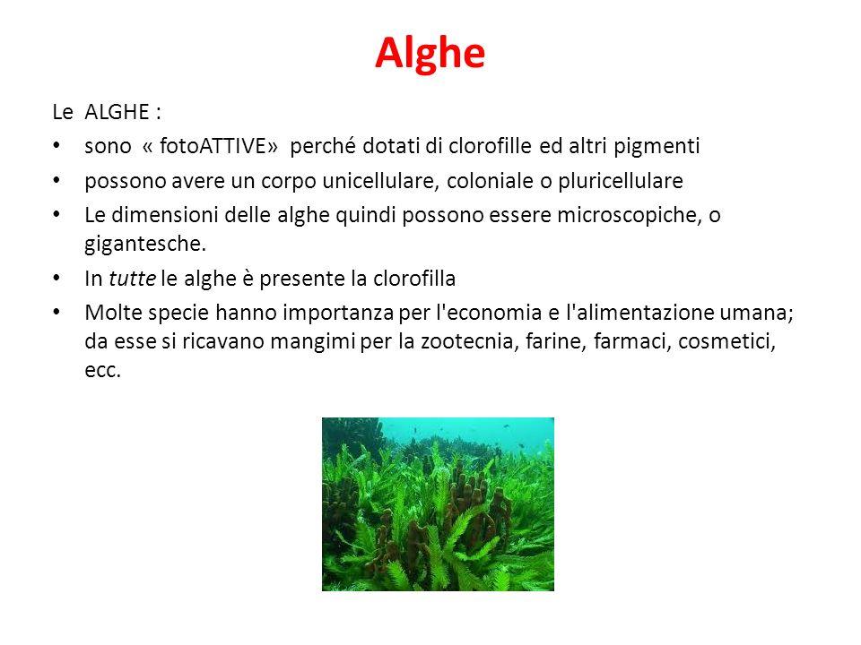 Alghe Le ALGHE : sono « fotoATTIVE» perché dotati di clorofille ed altri pigmenti.