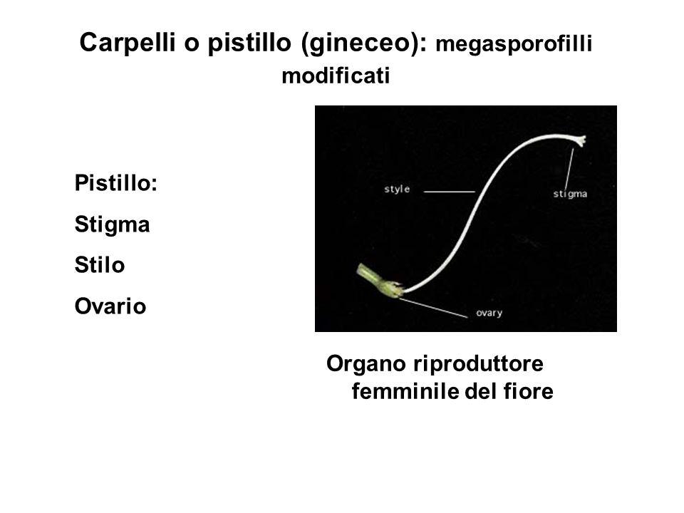 Carpelli o pistillo (gineceo): megasporofilli modificati