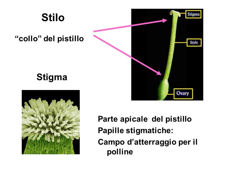 Stilo Stigma collo del pistillo Parte apicale del pistillo