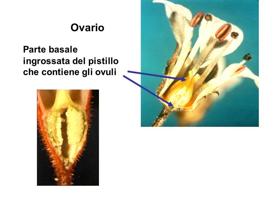 Ovario Parte basale ingrossata del pistillo che contiene gli ovuli