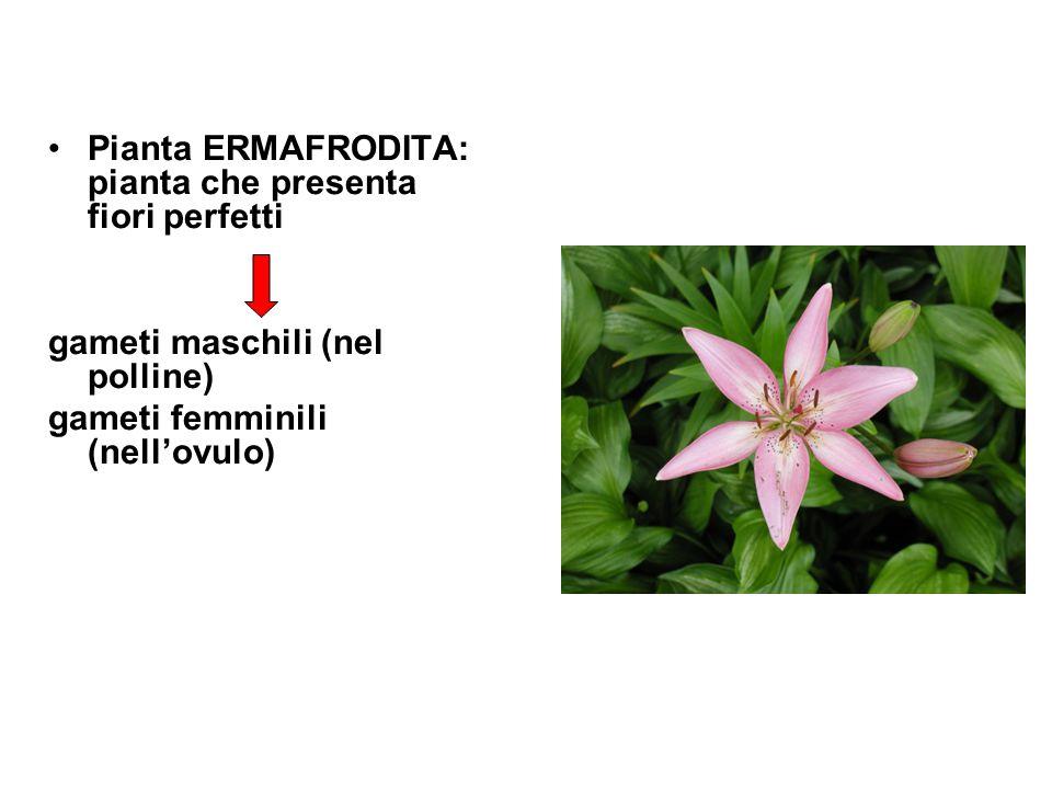 Pianta ERMAFRODITA: pianta che presenta fiori perfetti
