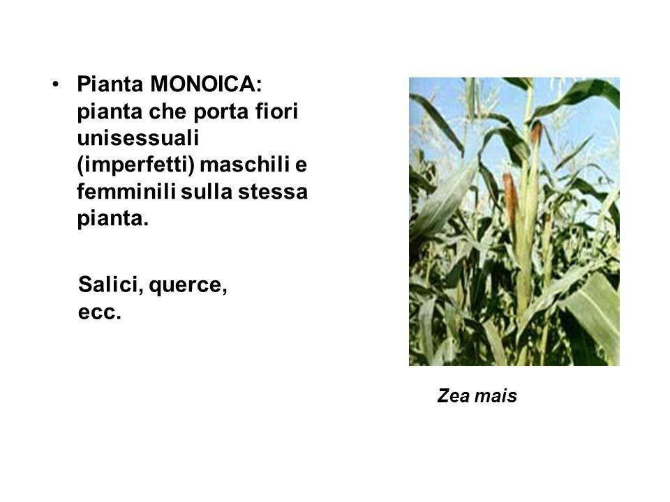 Pianta MONOICA: pianta che porta fiori unisessuali (imperfetti) maschili e femminili sulla stessa pianta.
