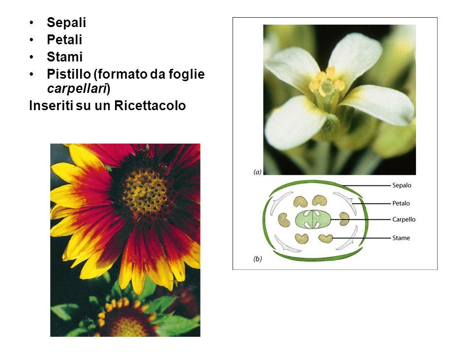 Sepali Petali Stami Pistillo (formato da foglie carpellari) Inseriti su un Ricettacolo