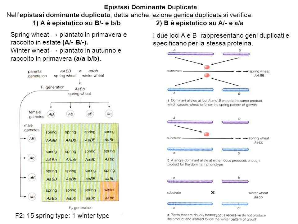 Epistasi Dominante Duplicata