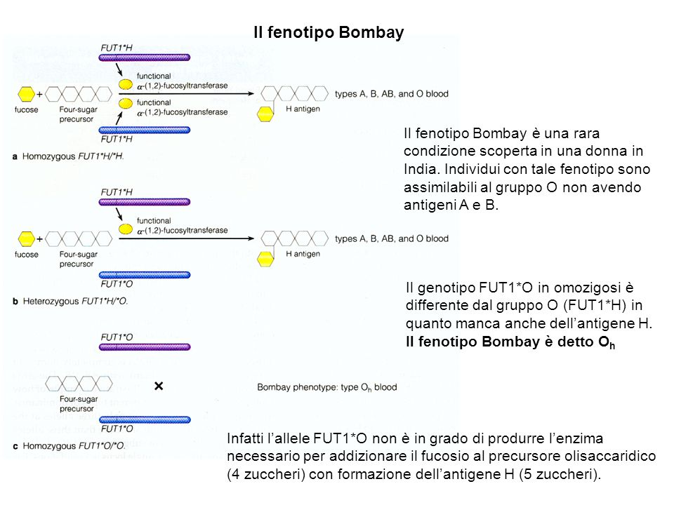 Il fenotipo Bombay
