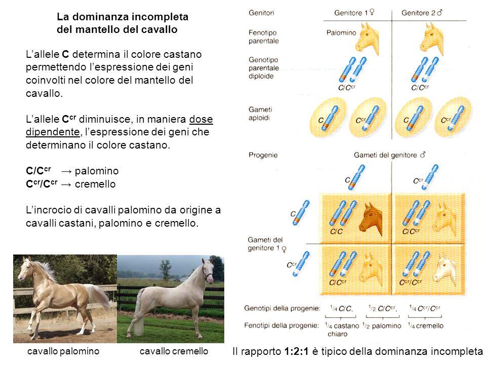 La dominanza incompleta del mantello del cavallo