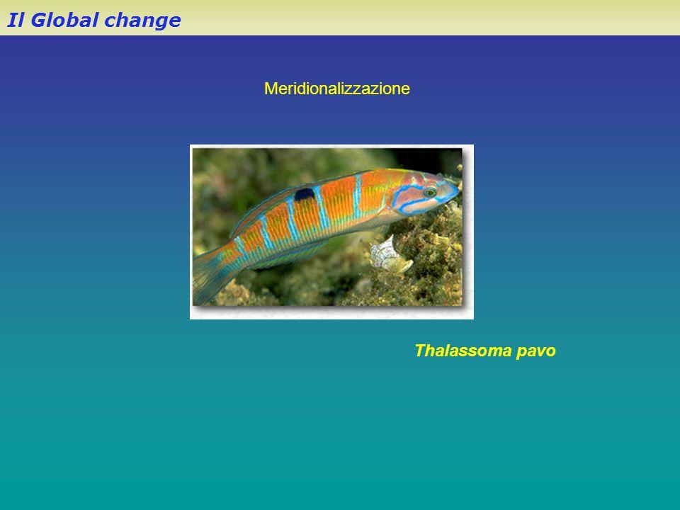 Il Global change Meridionalizzazione Thalassoma pavo