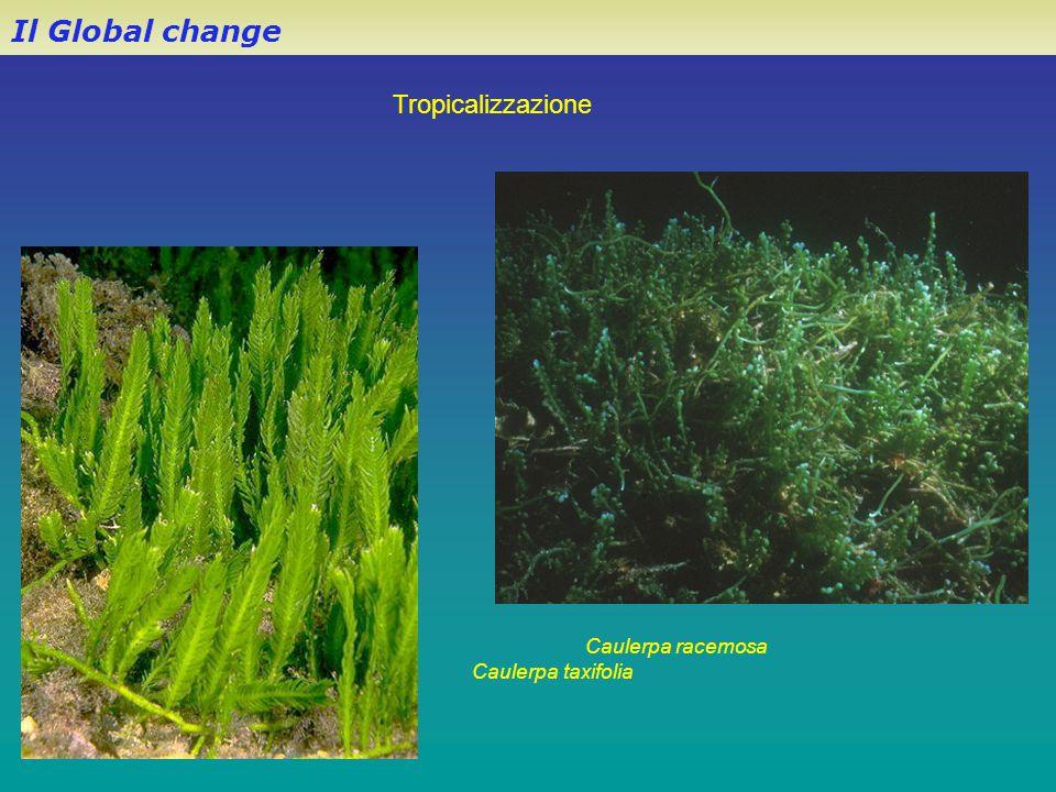 Il Global change Tropicalizzazione Caulerpa racemosa
