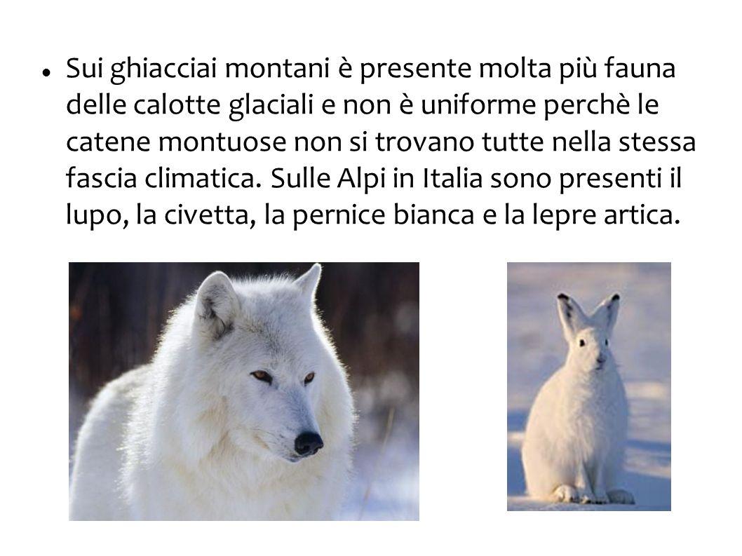 Sui ghiacciai montani è presente molta più fauna delle calotte glaciali e non è uniforme perchè le catene montuose non si trovano tutte nella stessa fascia climatica.