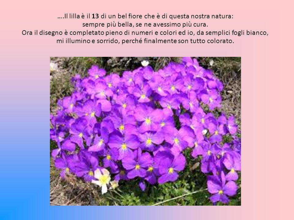 ….Il lilla è il 13 di un bel fiore che è di questa nostra natura: