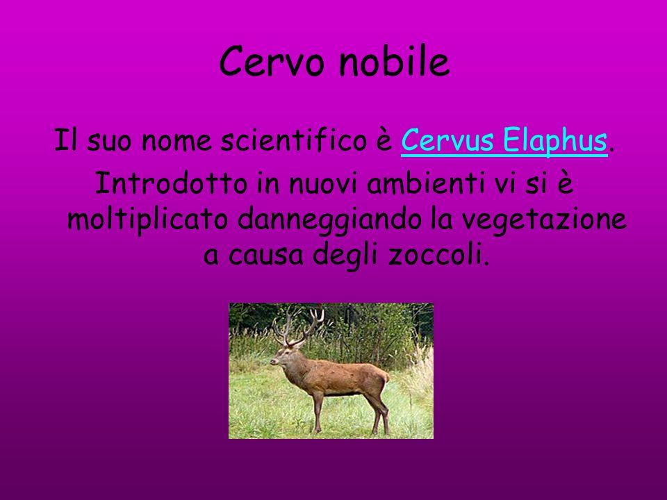 Il suo nome scientifico è Cervus Elaphus.