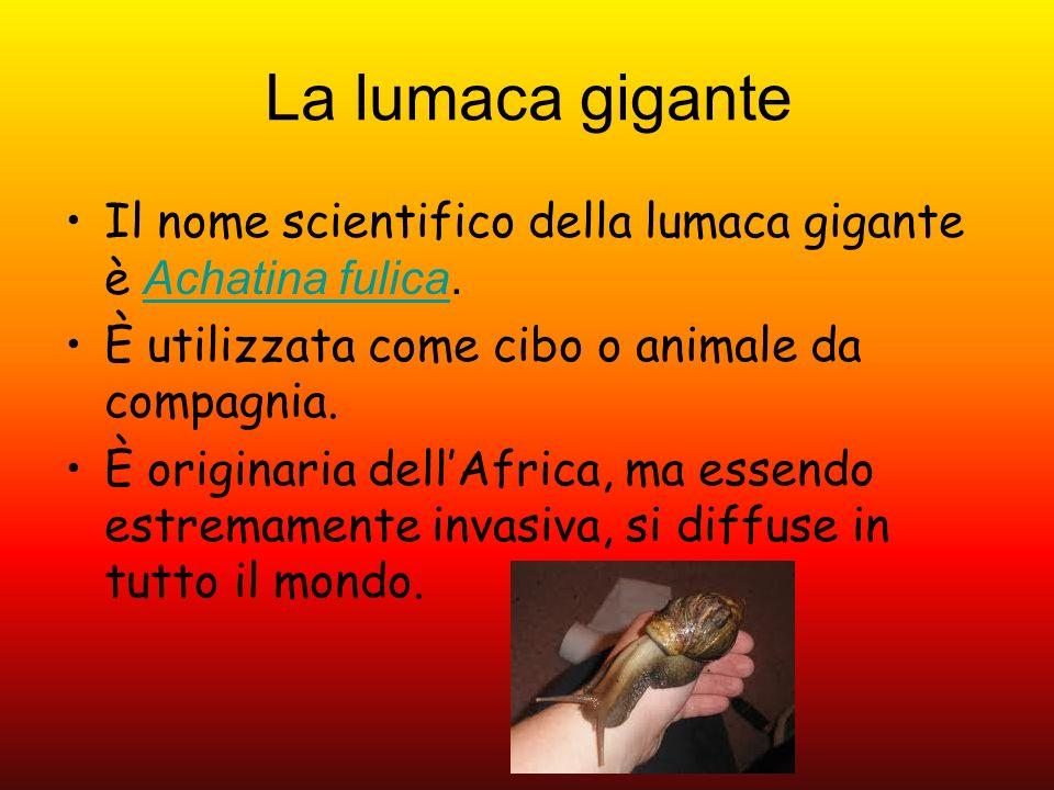 La lumaca gigante Il nome scientifico della lumaca gigante è Achatina fulica. È utilizzata come cibo o animale da compagnia.
