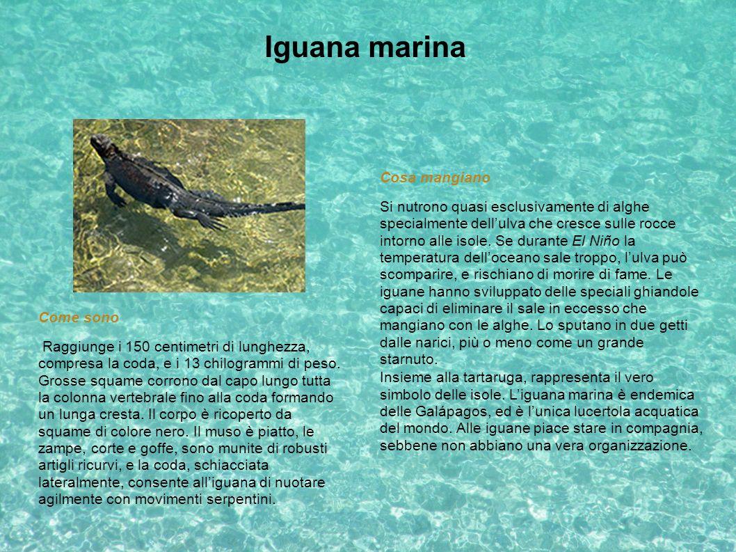 Iguana marina Cosa mangiano