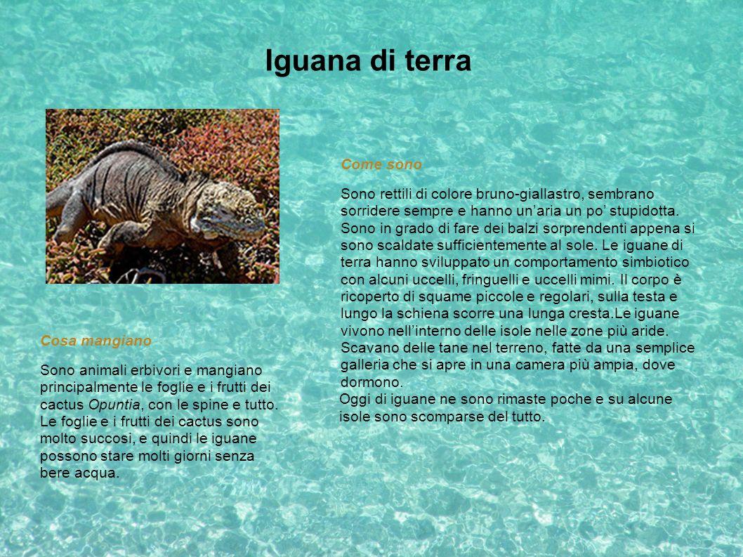 Iguana di terra Come sono