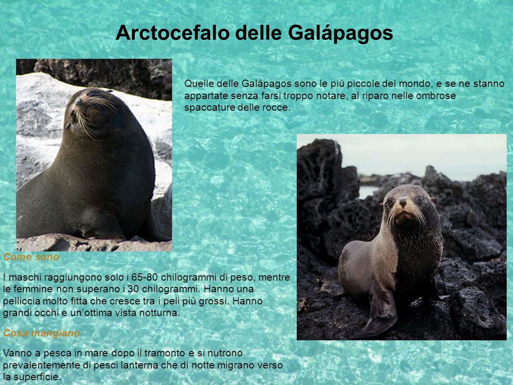 Arctocefalo delle Galápagos