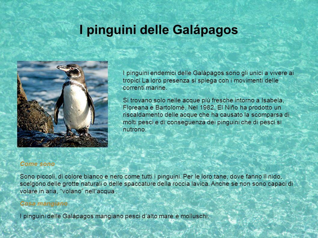 I pinguini delle Galápagos