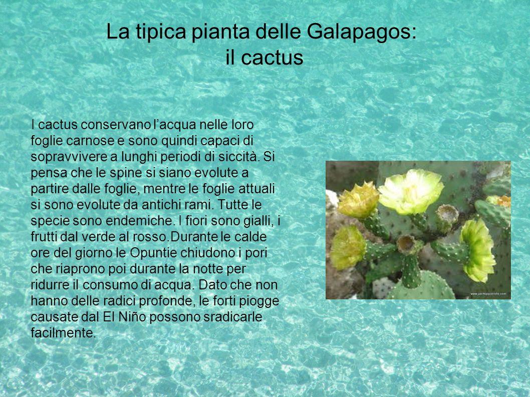 La tipica pianta delle Galapagos: il cactus