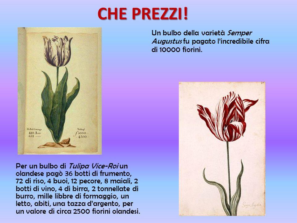 CHE PREZZI! Un bulbo della varietà Semper Augustus fu pagato l'incredibile cifra di 10000 fiorini.