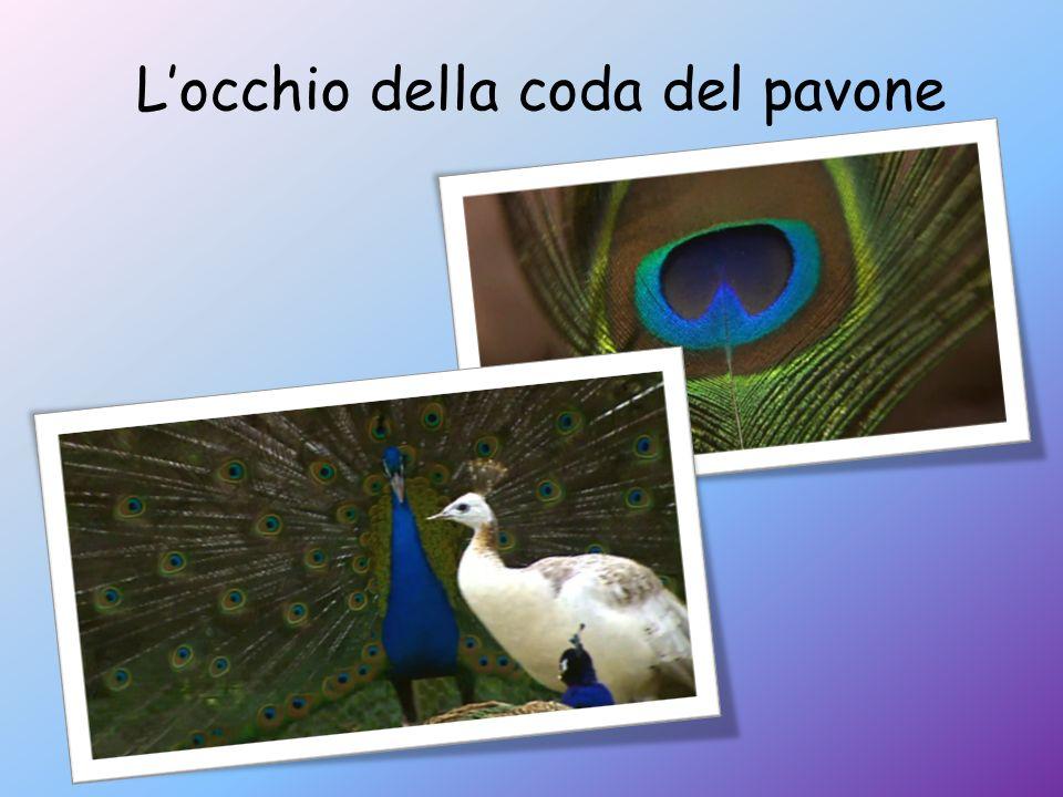 L'occhio della coda del pavone