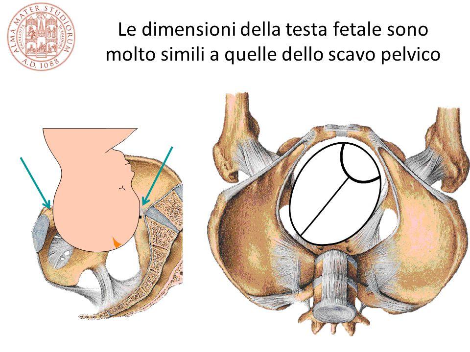 Le dimensioni della testa fetale sono molto simili a quelle dello scavo pelvico